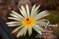 サボテンの花 (4).jpg