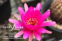 サボテンの花 (5).jpg