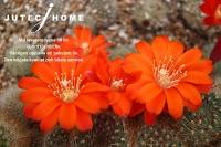 サボテンの花 (7).jpg